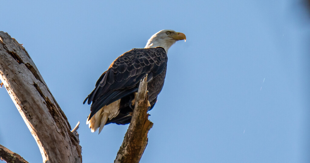 The Bald Eagle Showed Up Today! by rickster549