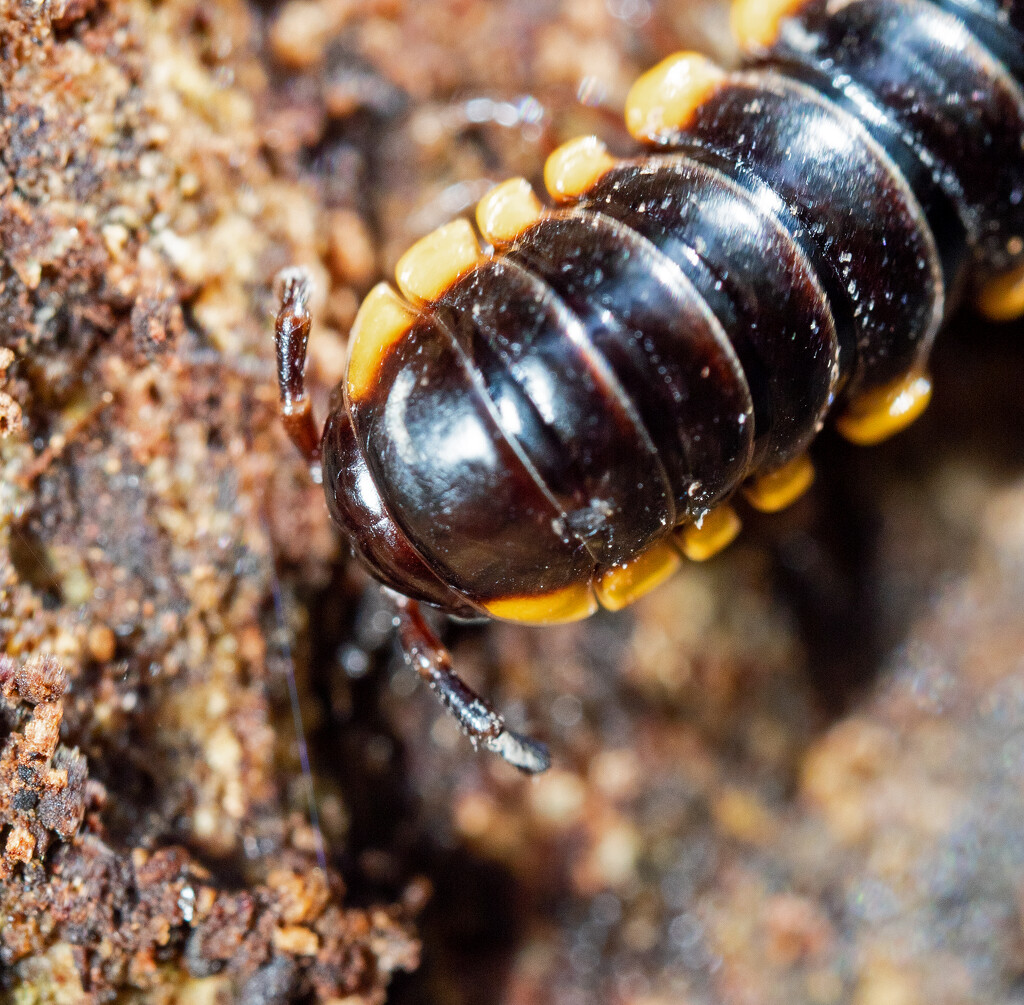 Centipede by ianjb21