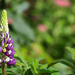 Last of the Lupins by phil_sandford