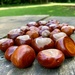 Anyone for conkers?