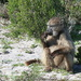 Baboons Roam Free at Cape Point