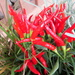 Ornamental peppers from the flower garden