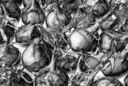 23rd Sep 2021 - 0923 - Onions