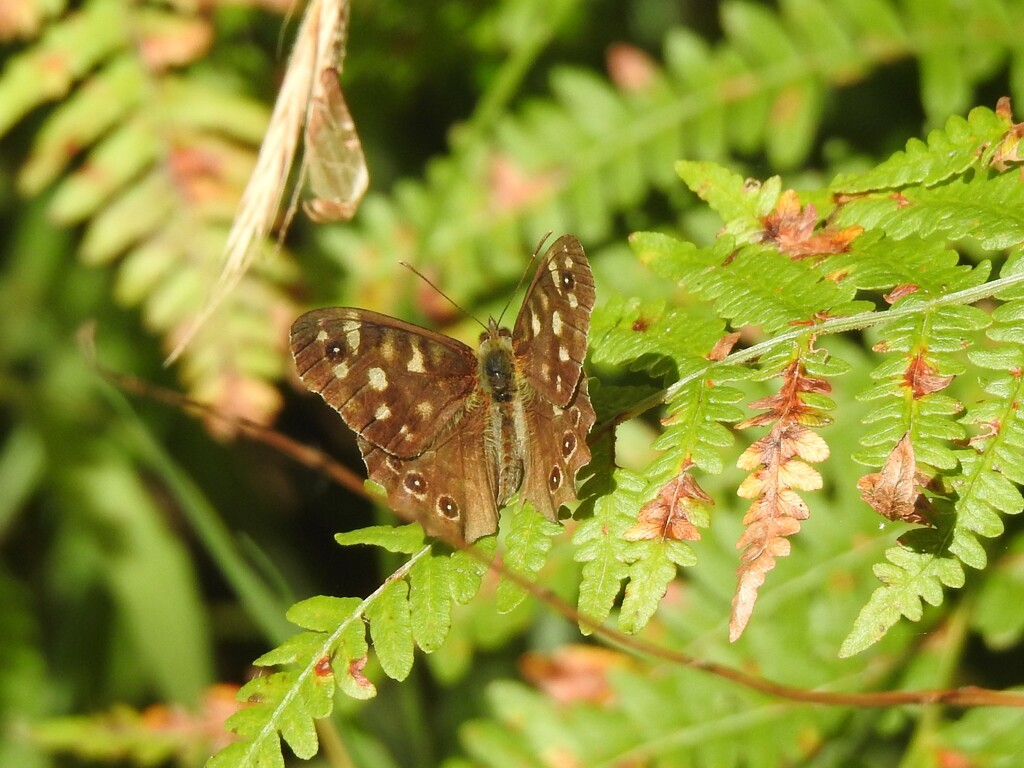 Speckled Wood by susiemc