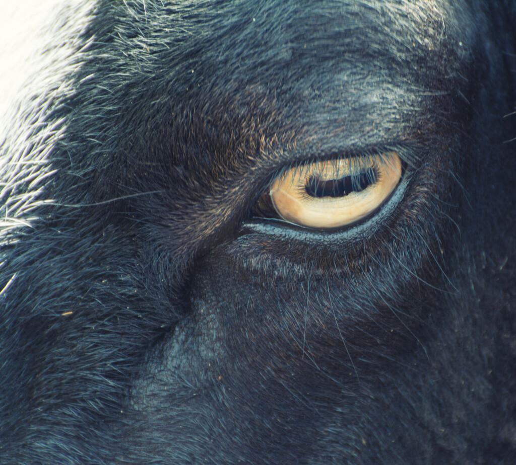 Sheep's eye by rumpelstiltskin