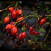 Rose Hips and Nightshade by gardencat