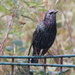 Starling posing