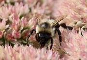 23rd Sep 2021 - Carpenter Bee