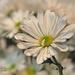 Daisy Be Mine by lynne5477