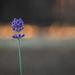 Last Garden Light