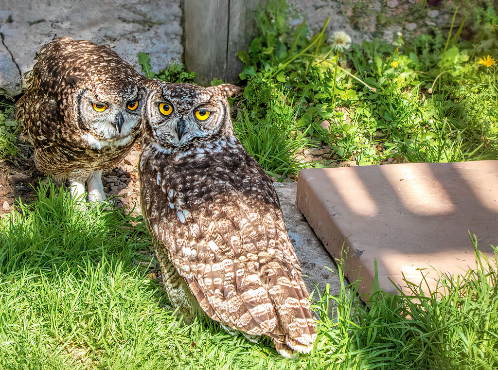 Spotted Eagle Owls by ludwigsdiana