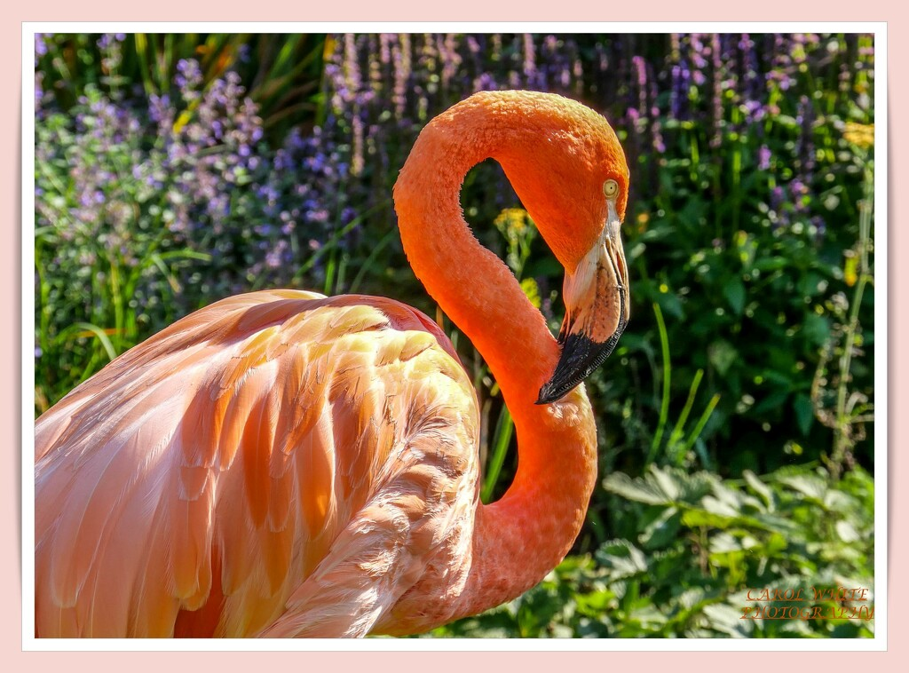 Flamingo Friday by carolmw