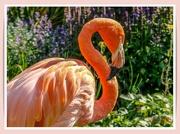 24th Sep 2021 - Flamingo Friday