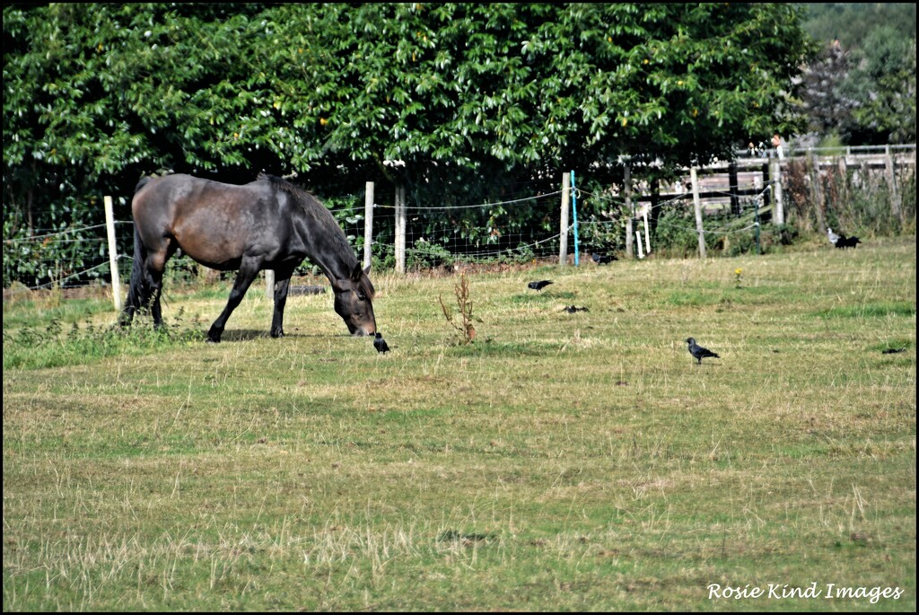 The jackdaws love the horses by rosiekind