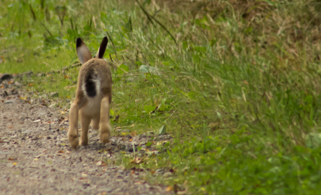 Disappearing Hare by hobgoblin