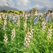Lots of Lupins  by salza