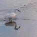 Little Egret by seacreature