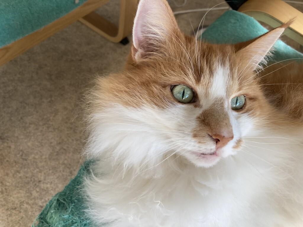 Sani ginger by katriak