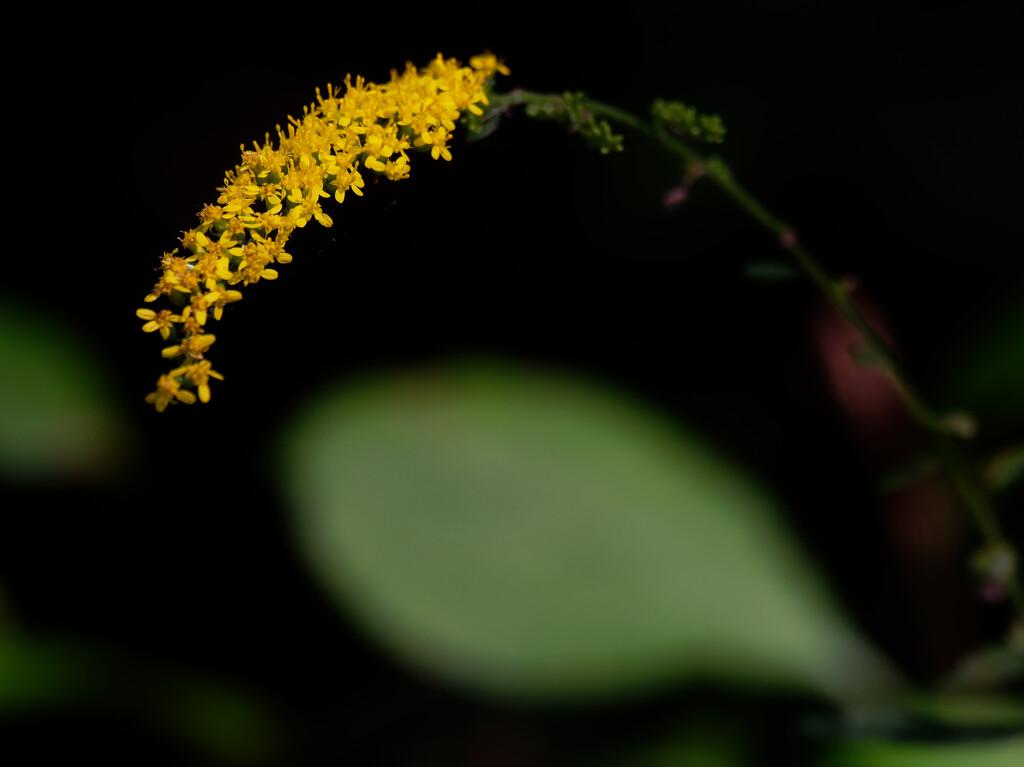 elm-leaved goldenrod by rminer
