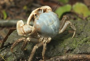 16th Jan 2011 - blue crab Christmas Island