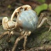 blue crab Christmas Island by lbmcshutter