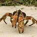 Christmas Island Robber Crab by lbmcshutter
