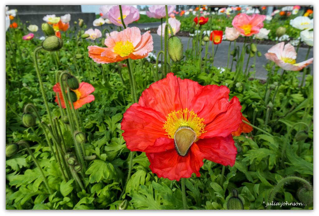 Cenetaph Poppies by julzmaioro