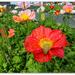 Cenetaph Poppies