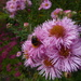 Honeybee enjoying my Michaelmas daisies by snowy