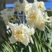 Pale Daffies