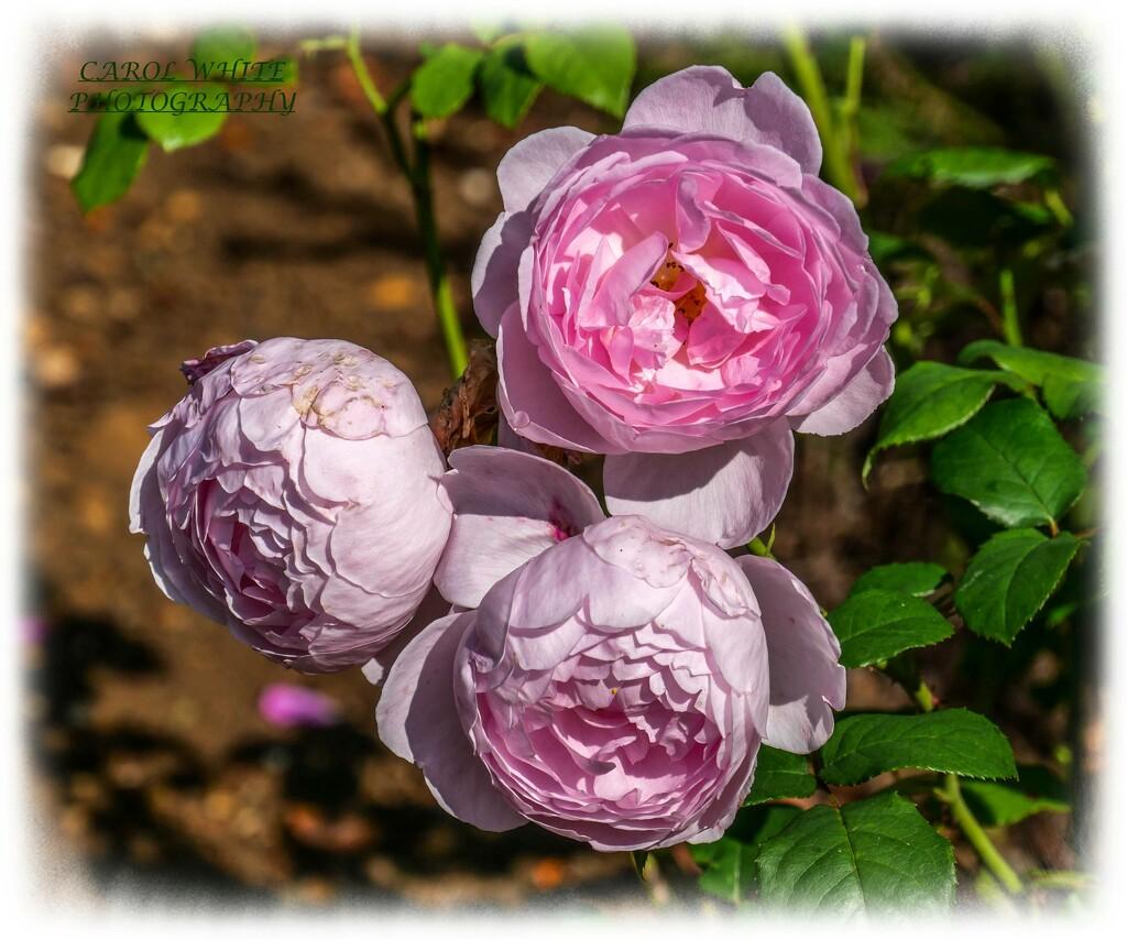 'Sceptred Isle' Roses by carolmw