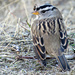 White Crowned Sparrow by seattlite