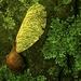 Maple seeds and Lichen