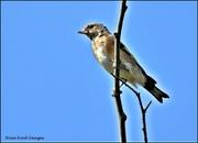 26th Sep 2021 - Juvenile goldfinch