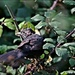 A rather scruffy blackbird