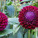 Twin dahlias by busylady