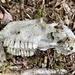 Sheep skull?