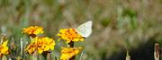 26th Sep 2021 - Alfalfa butterfly