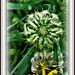 Calendula (marigold)seed-head