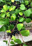 26th Sep 2021 - roadside berries