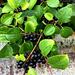 roadside berries