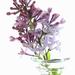 Improbable Lilacs by juliedduncan