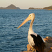 Pelican Fishing by onewing