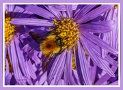 28th Sep 2021 - Bee And Michaelmas Daisies