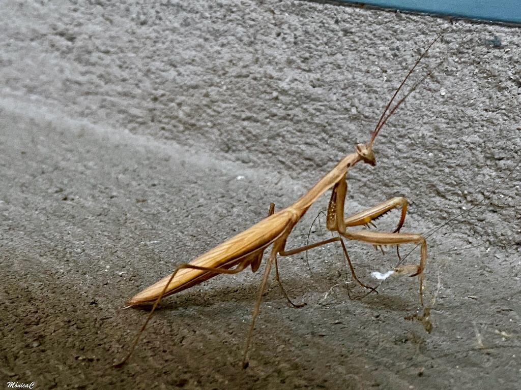 Praying mantis by monicac