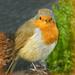 Garden Centre Robin. by wendyfrost