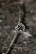 24th Sep 2021 - Pinecone in the Making