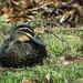 Backyard duck
