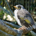 Baby Noisy Miner by onewing