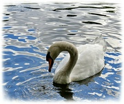 29th Sep 2021 - Mute Swan